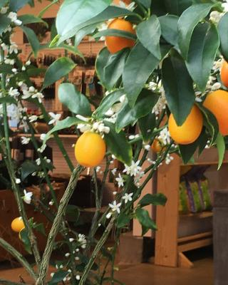 Kumquat Selvåg Gartneri Hagesenter