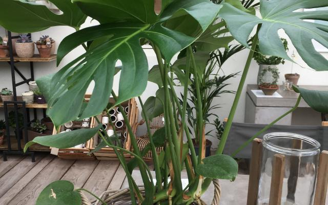 Monstera Selvåg Gartneri Hagesenter