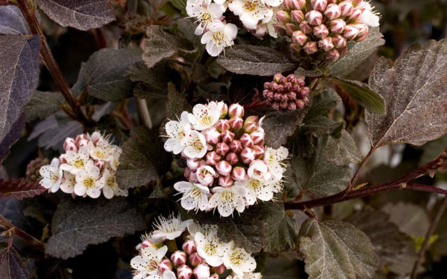 Physocarpus Optifolius Diabolo Selvåg Gartneri Hagesenter