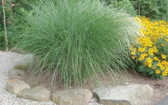 Kinagrass Grassilimus2